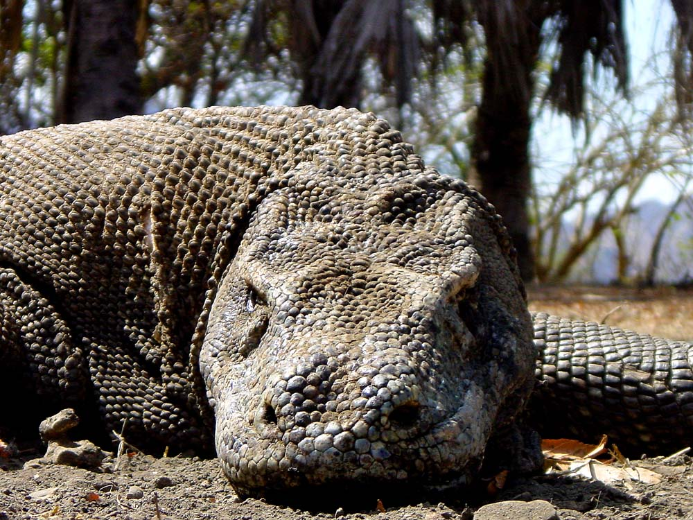 063 komodo dragon - komodo, indonesia.jpg