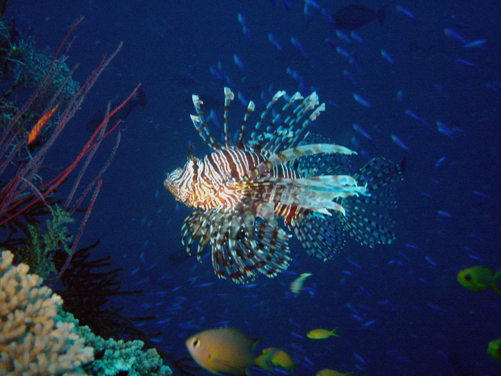 070 lionfish - papua new guinea.jpg