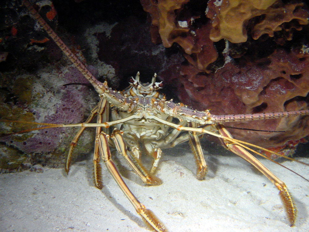 073 lobster - bimini, bahamas.jpg