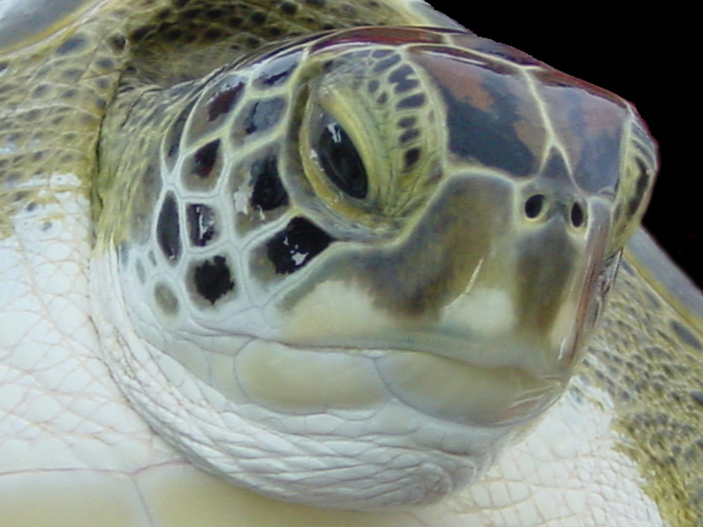 081 green turtle - bimini, bahamas.jpg