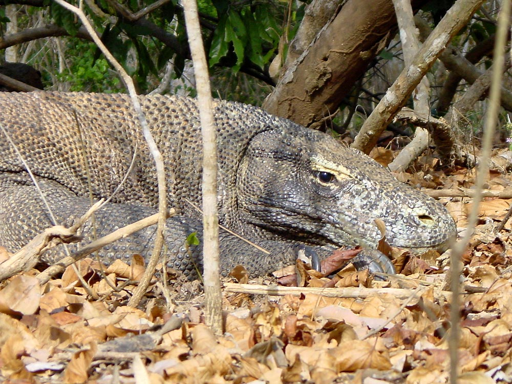 083 komodo dragon - komodo, indonesia.jpg