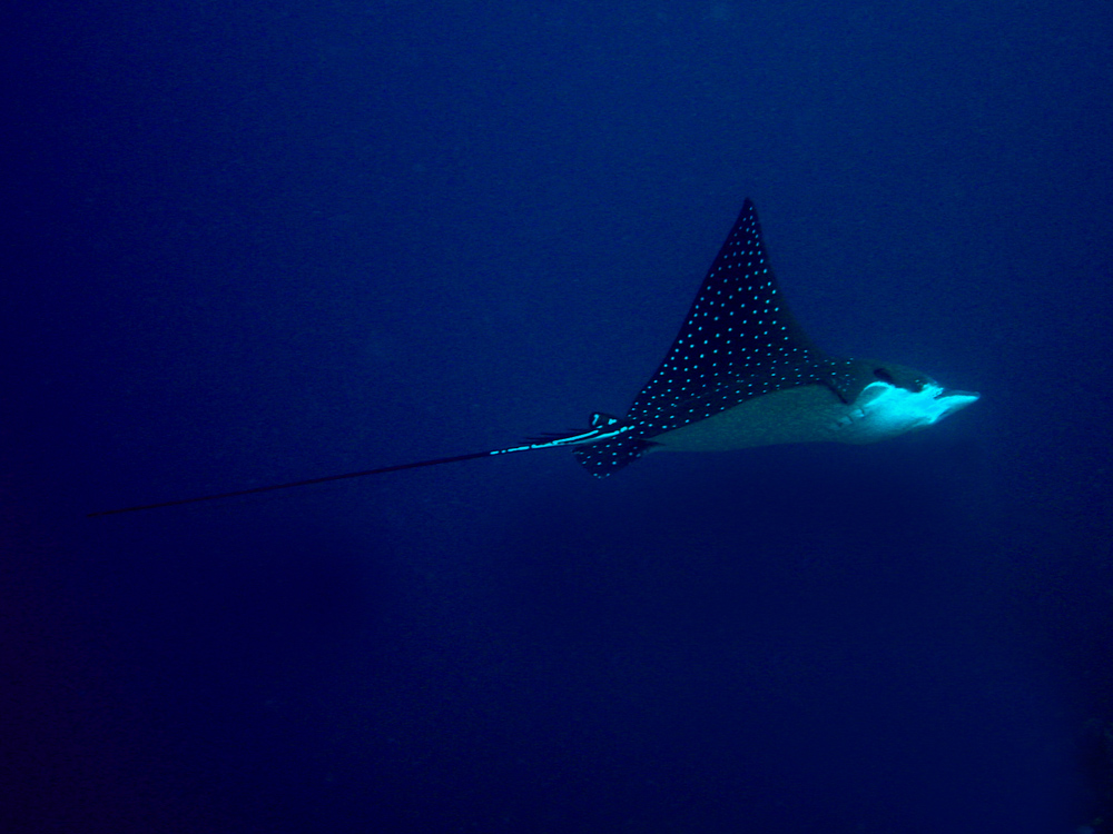 087 eagle ray - alor, indonesia.jpg