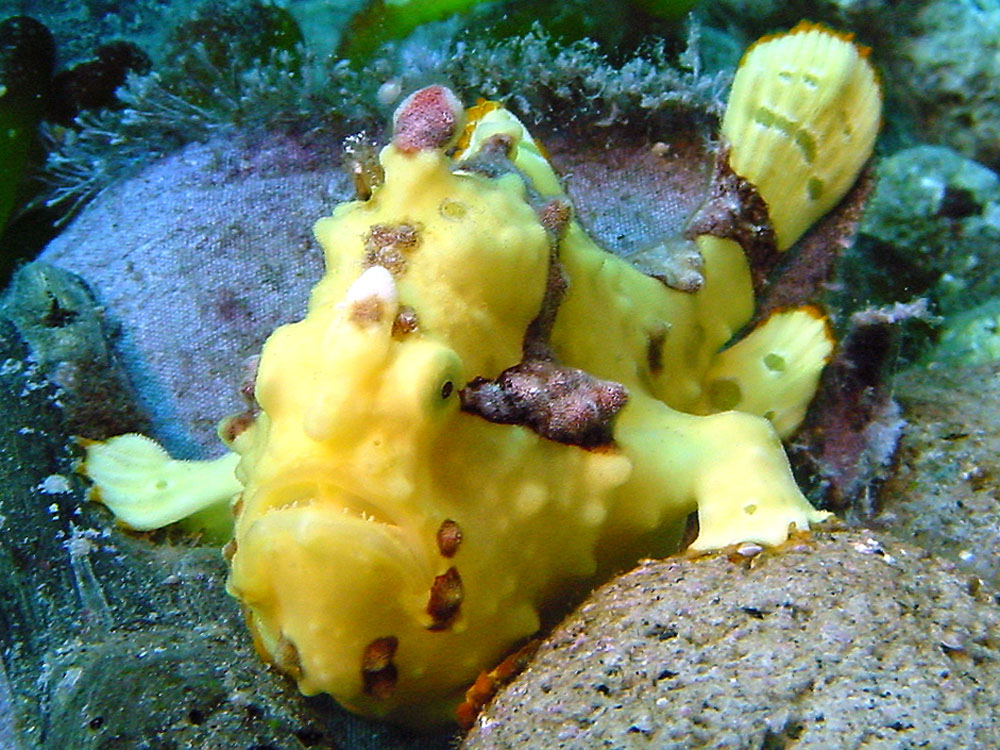 089 frogfish - flores, indonesia.jpg