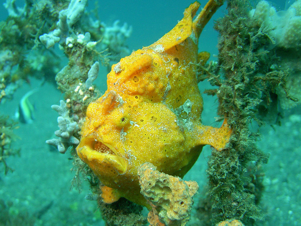 099 yellow frogfish with eggs - manado, indonesia.jpg