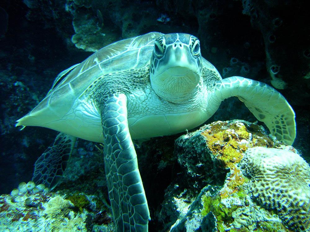 108 turtle - manado, indonesia.jpg