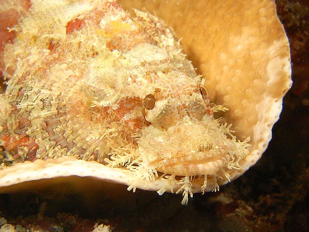 111 scorpionfish - manado, indonesia.jpg