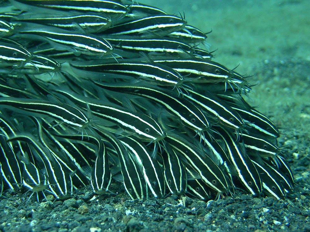 118 eel-tailed catfish - manado, indonesia.jpg