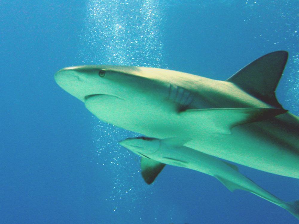 117 caribbean reef shark with remora - nassau, bahamas.jpg