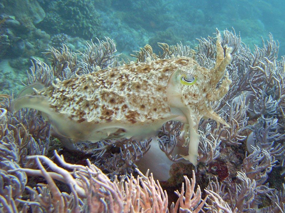 119 cuttlefish - manado, indonesia.jpg