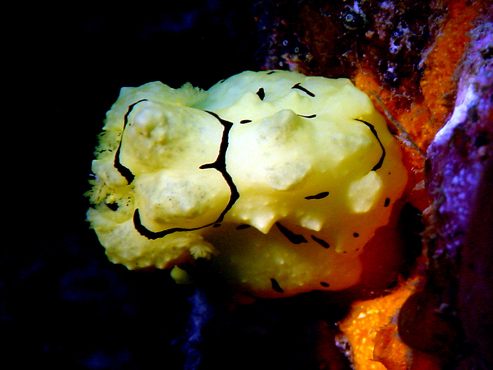 144 nudibranch - papua new guinea.jpg