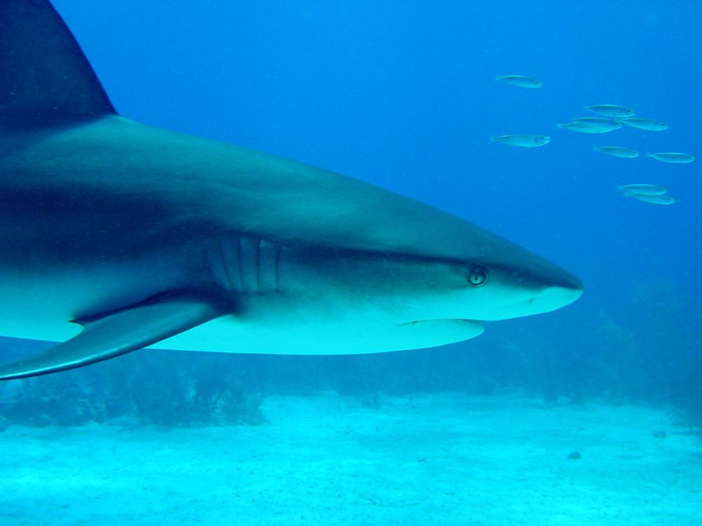 159 caribbean reef shark - nassau, bahamas.jpg