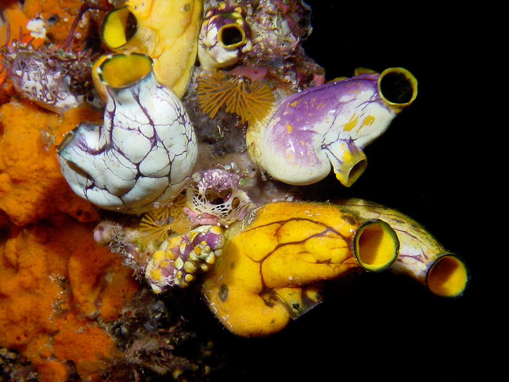171 sea squirts - komodo, indonesia.jpg