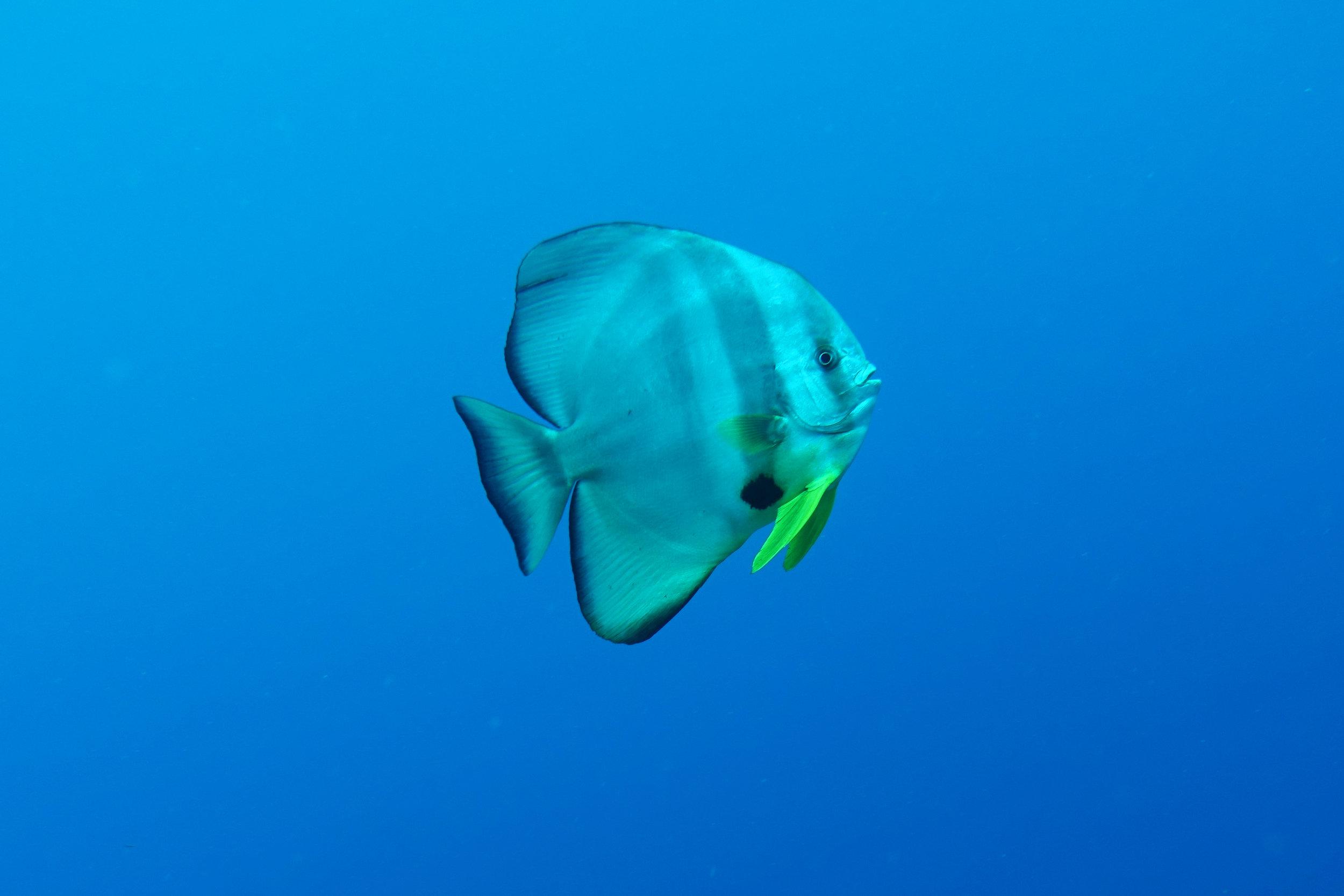 batfish 1564.jpg