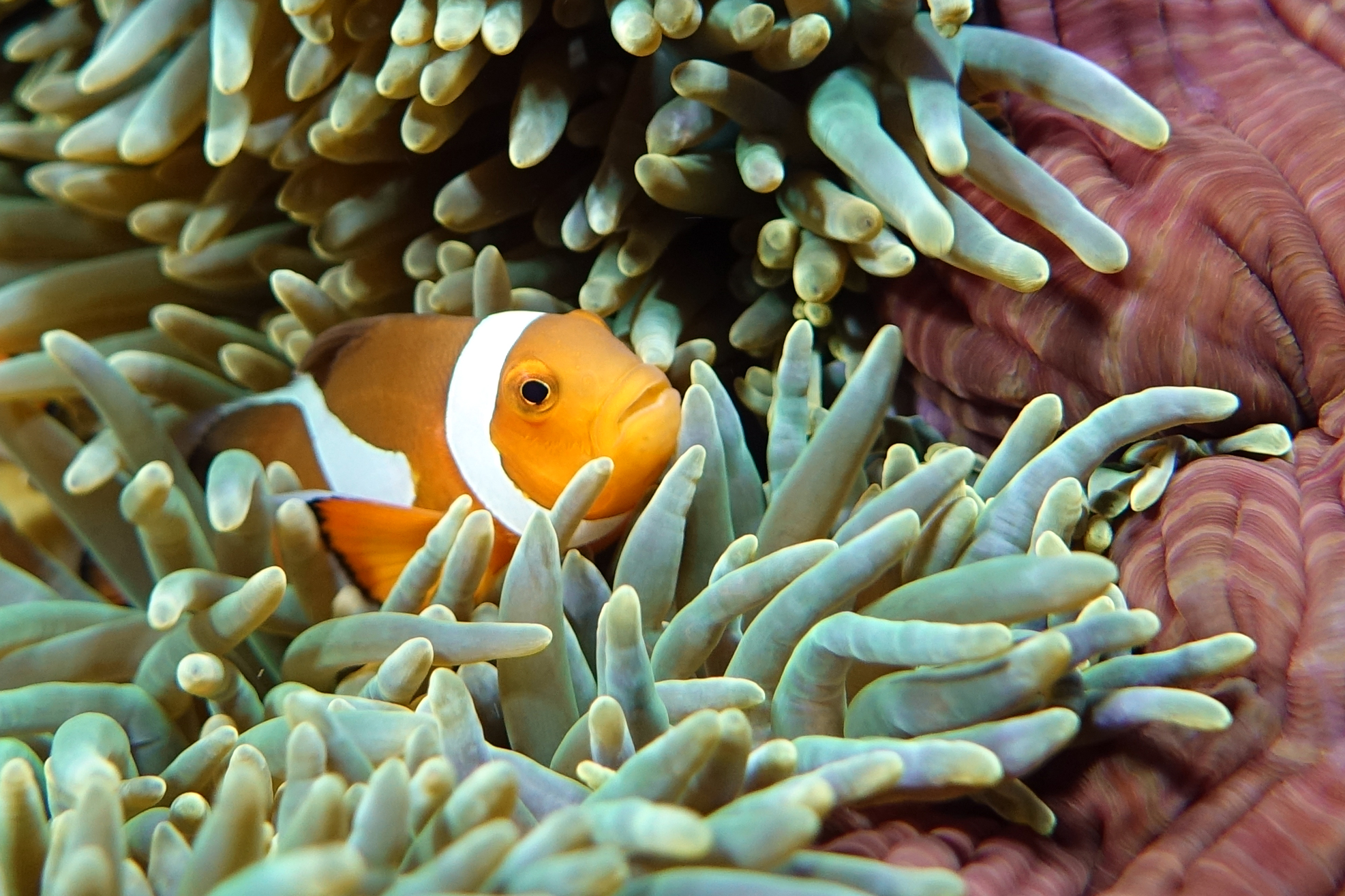clownfish closeup 2380.jpg