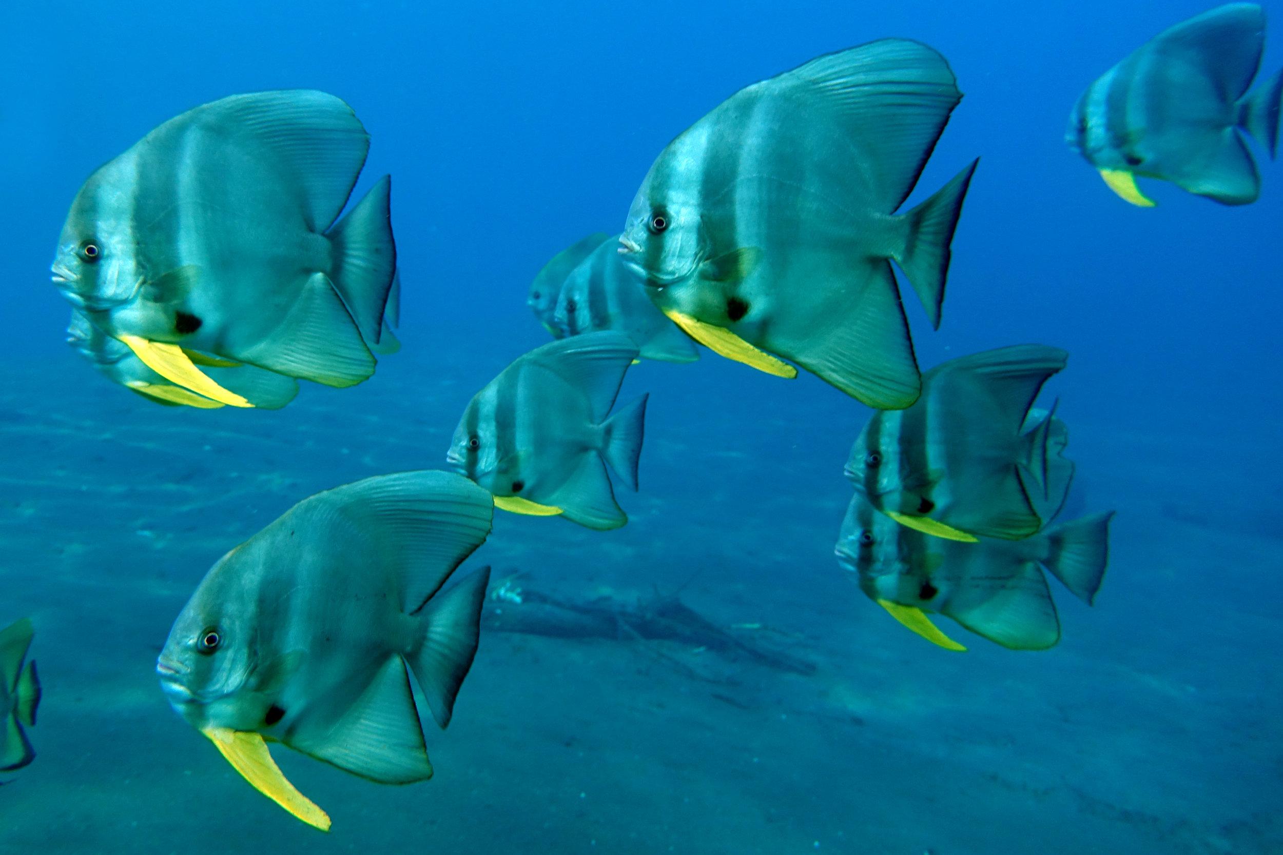batfish 1721.jpg