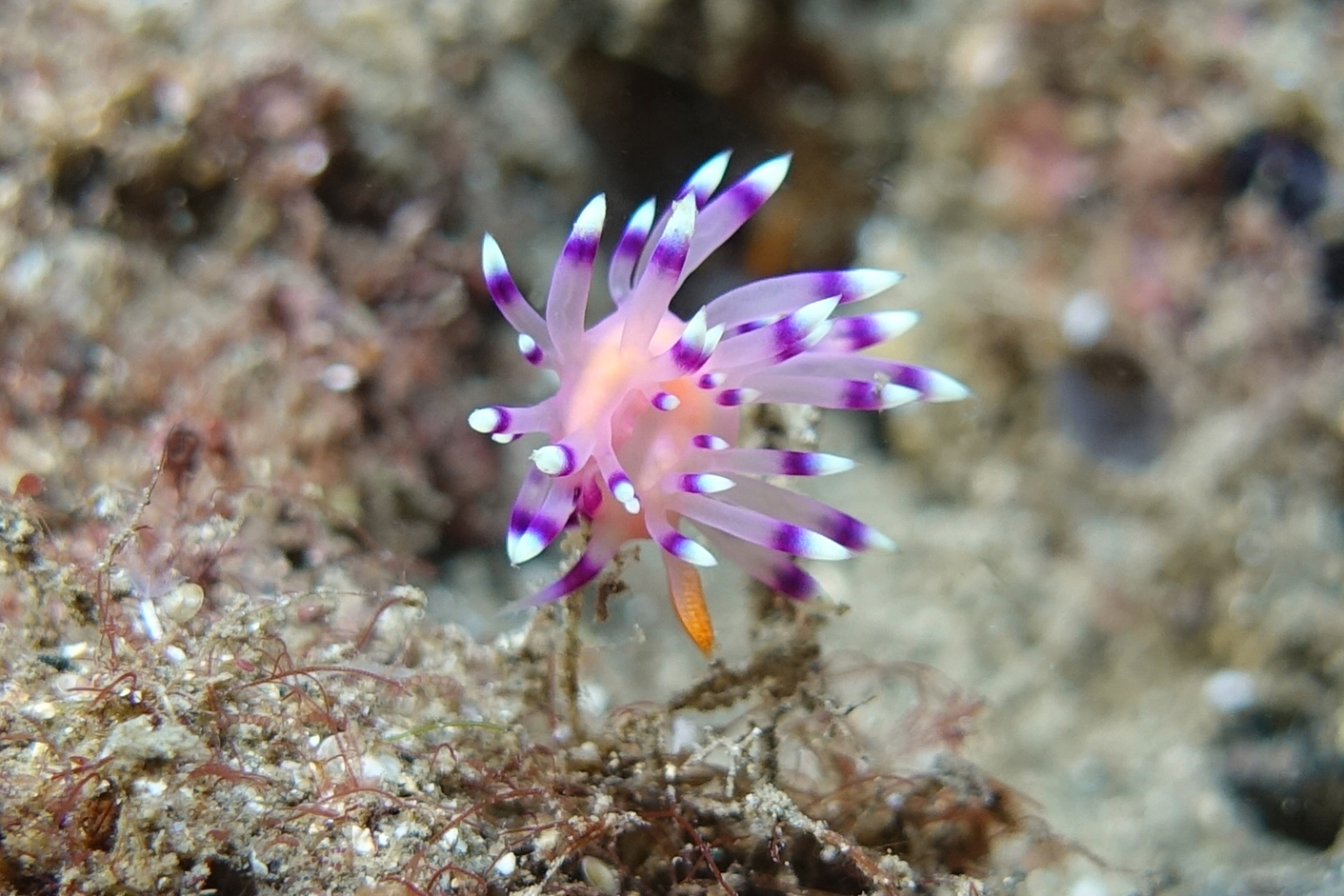 flamboyant nudibranch 686.jpg