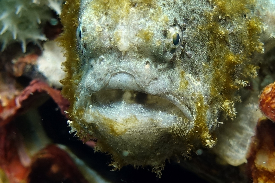 frogfish closeup 1861.jpg
