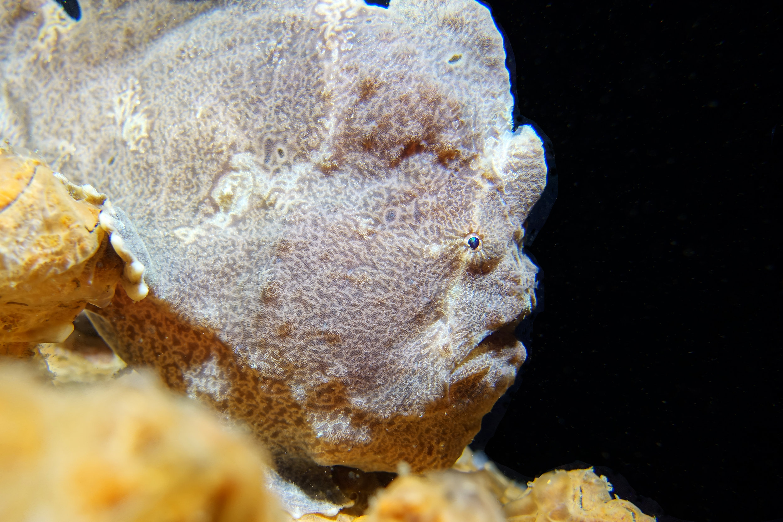 giant frogfish 1976.jpg