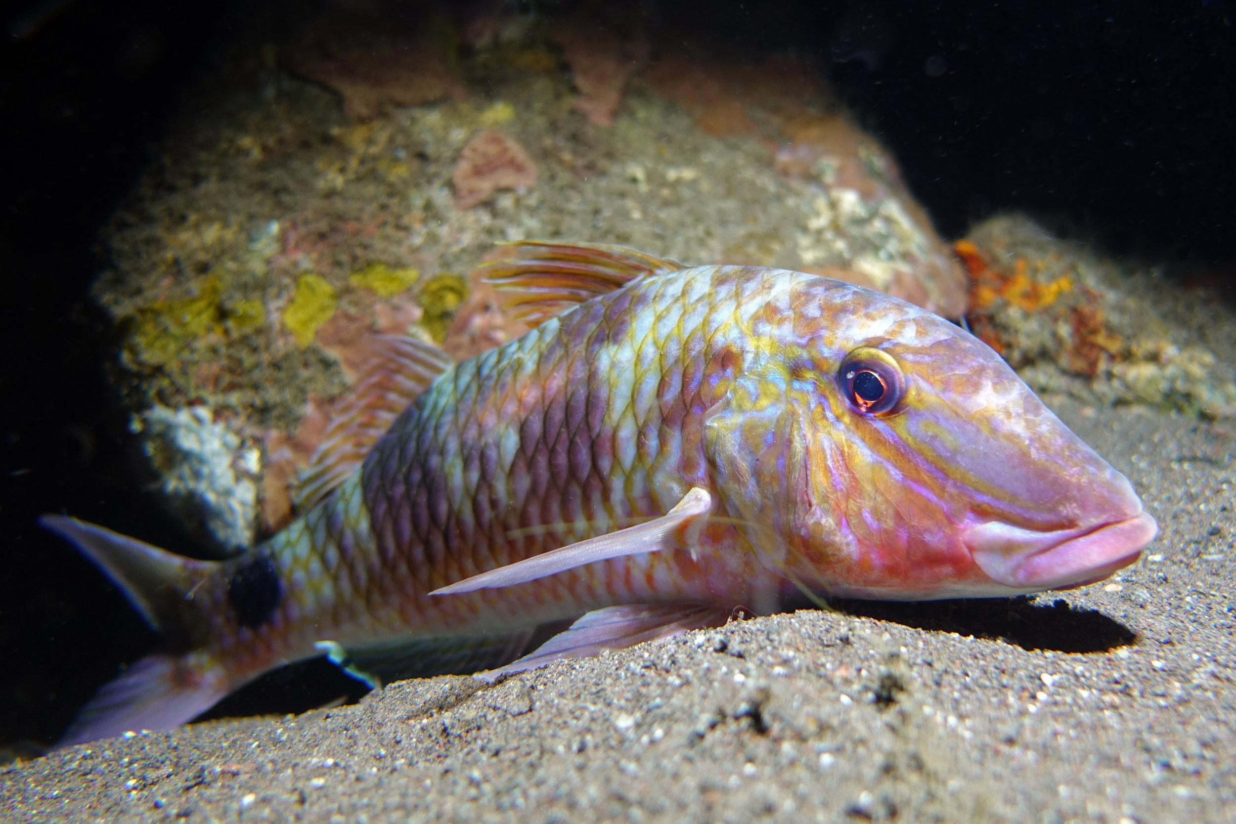 goatfish 1990.jpg