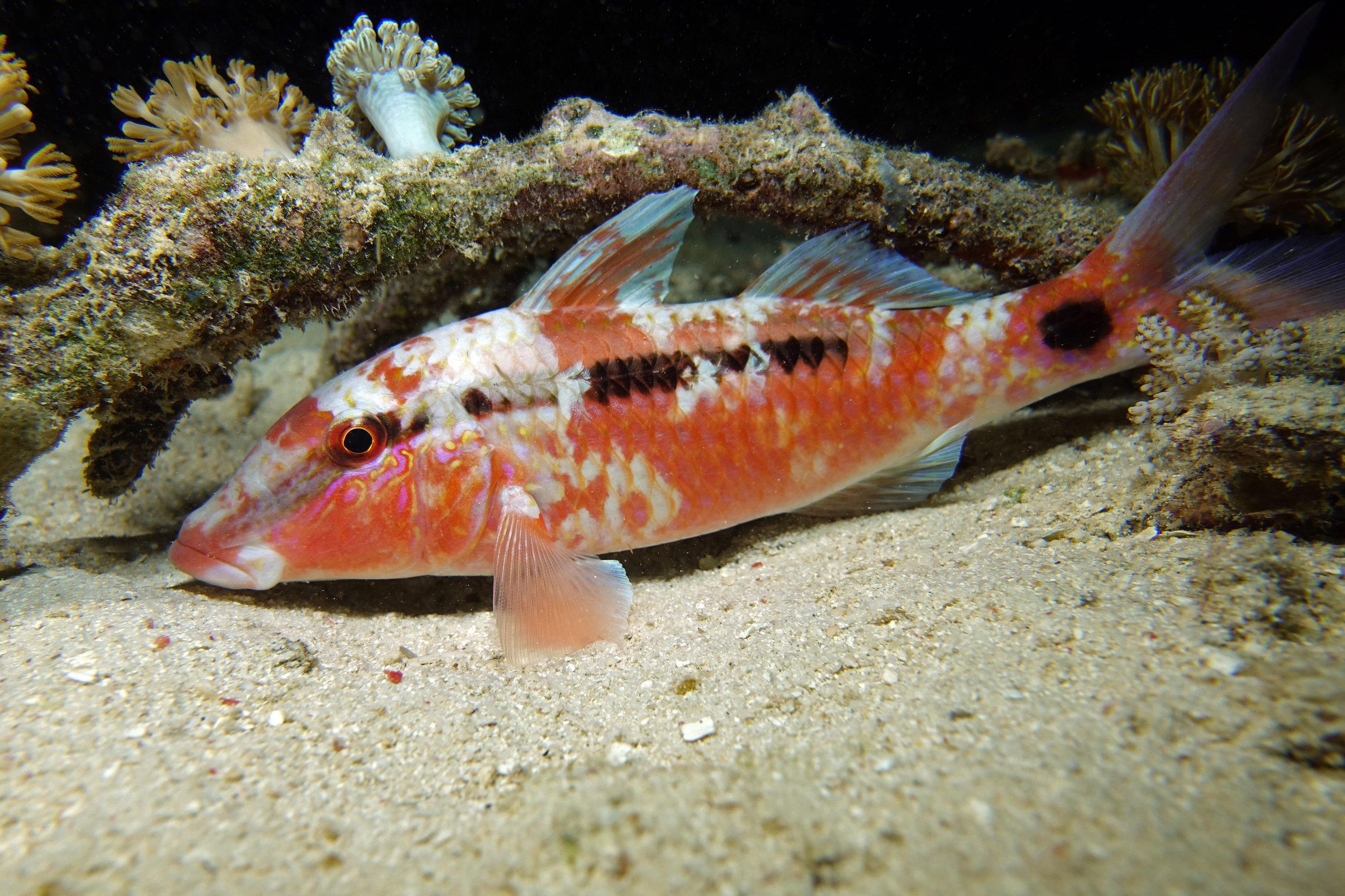 goatfish 2254.jpg