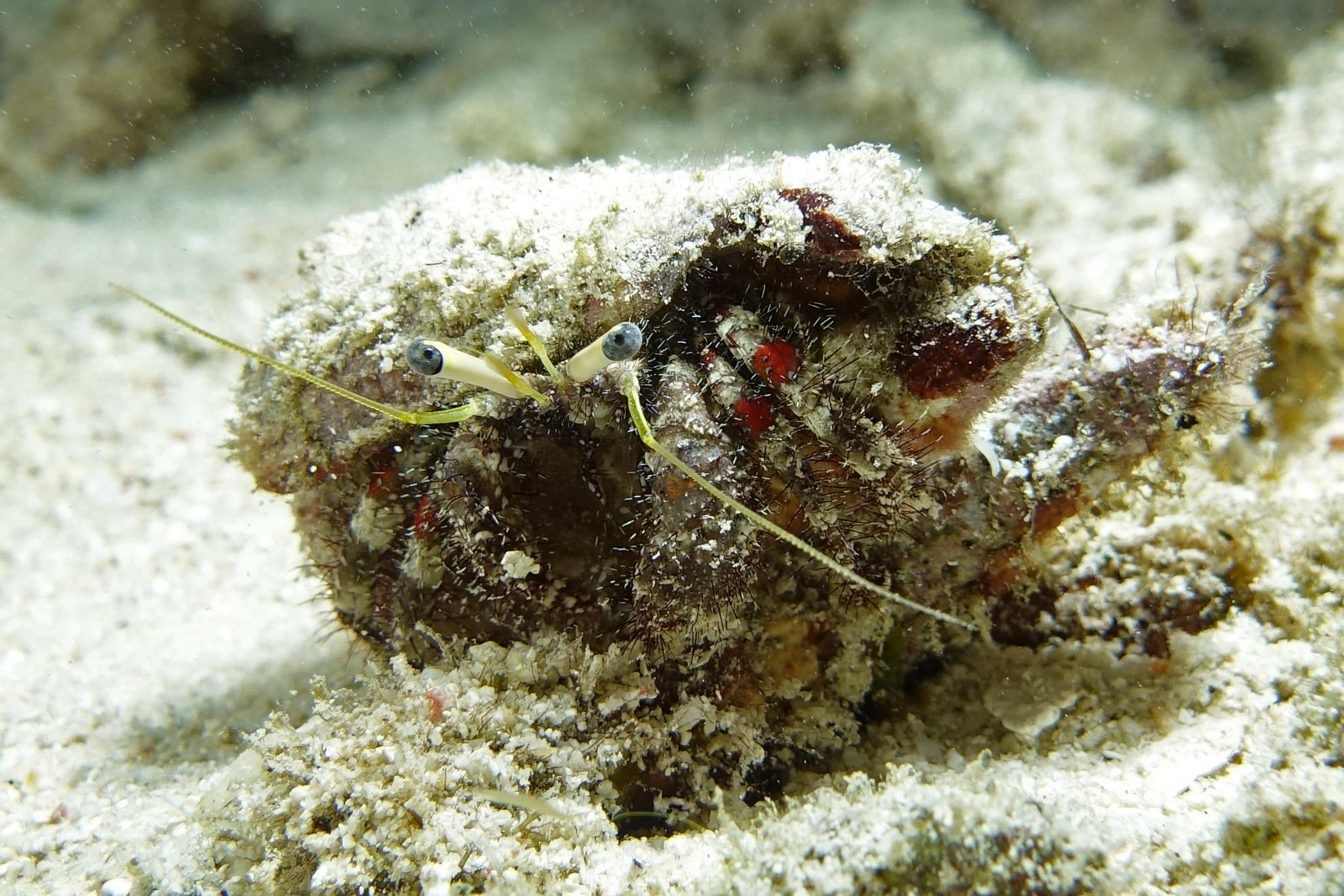 hermit crab 2248.jpg