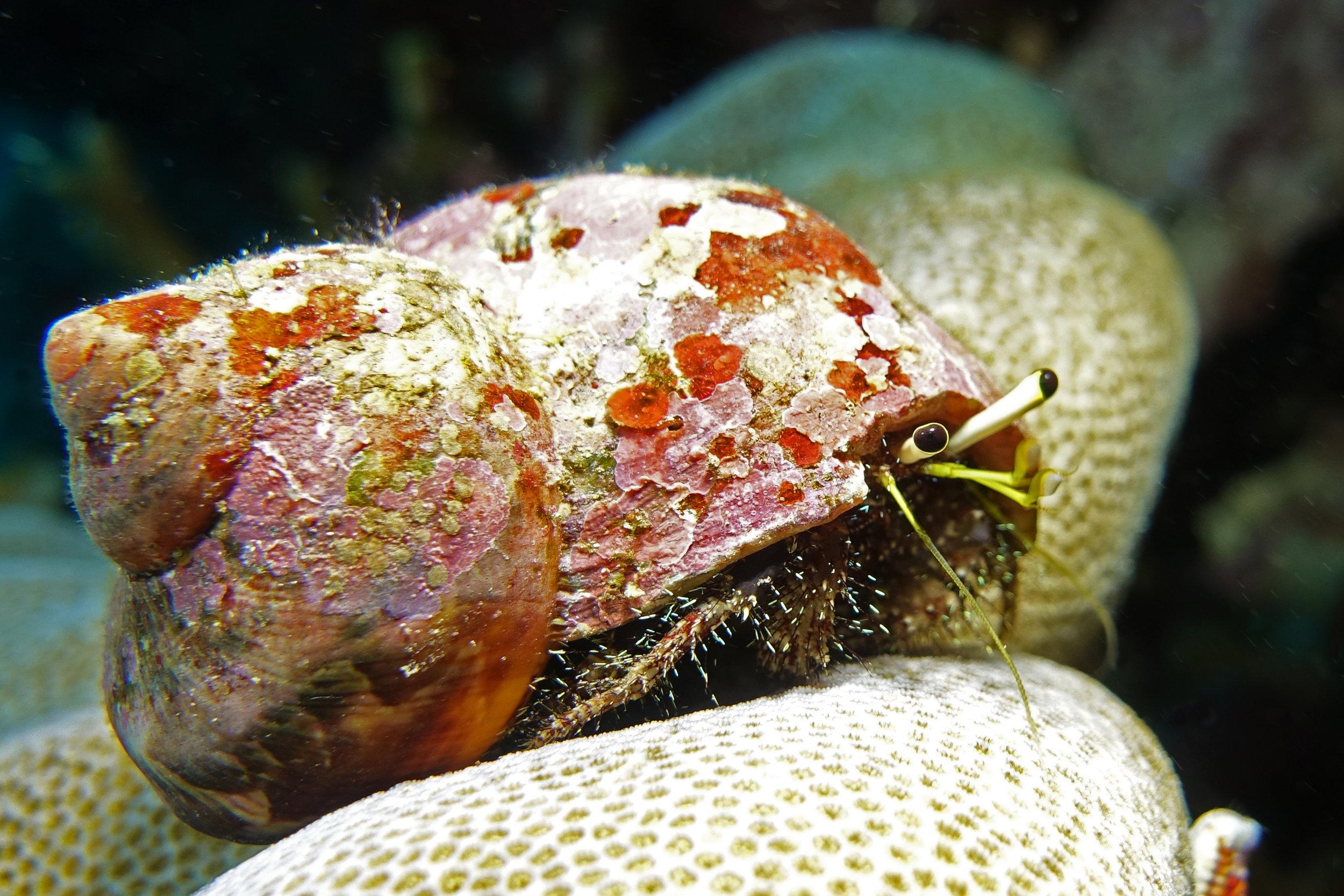 hermit crab 1599.jpg