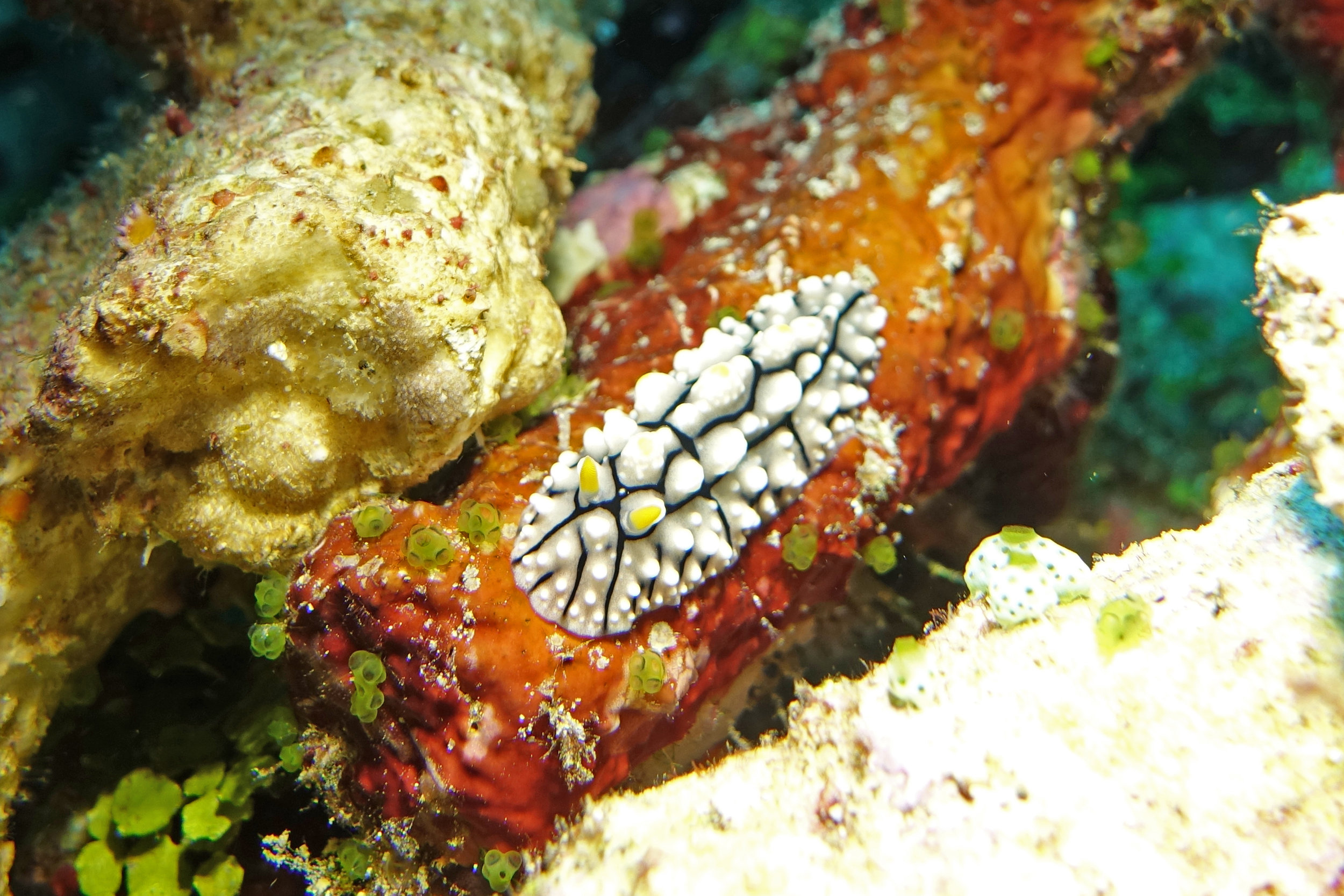 nudibranch 1558.jpg