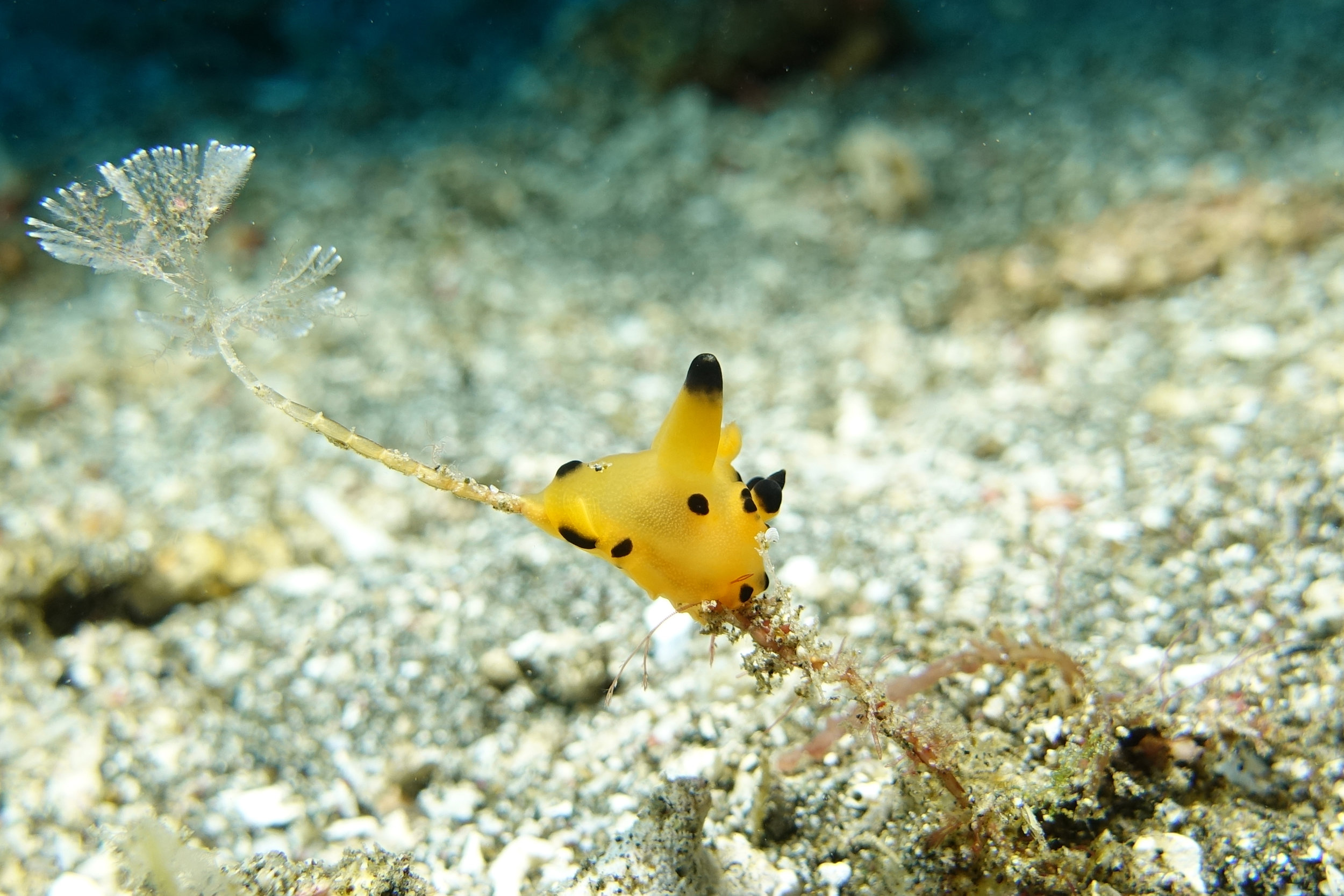 nudibranch thecacera 1256.jpg