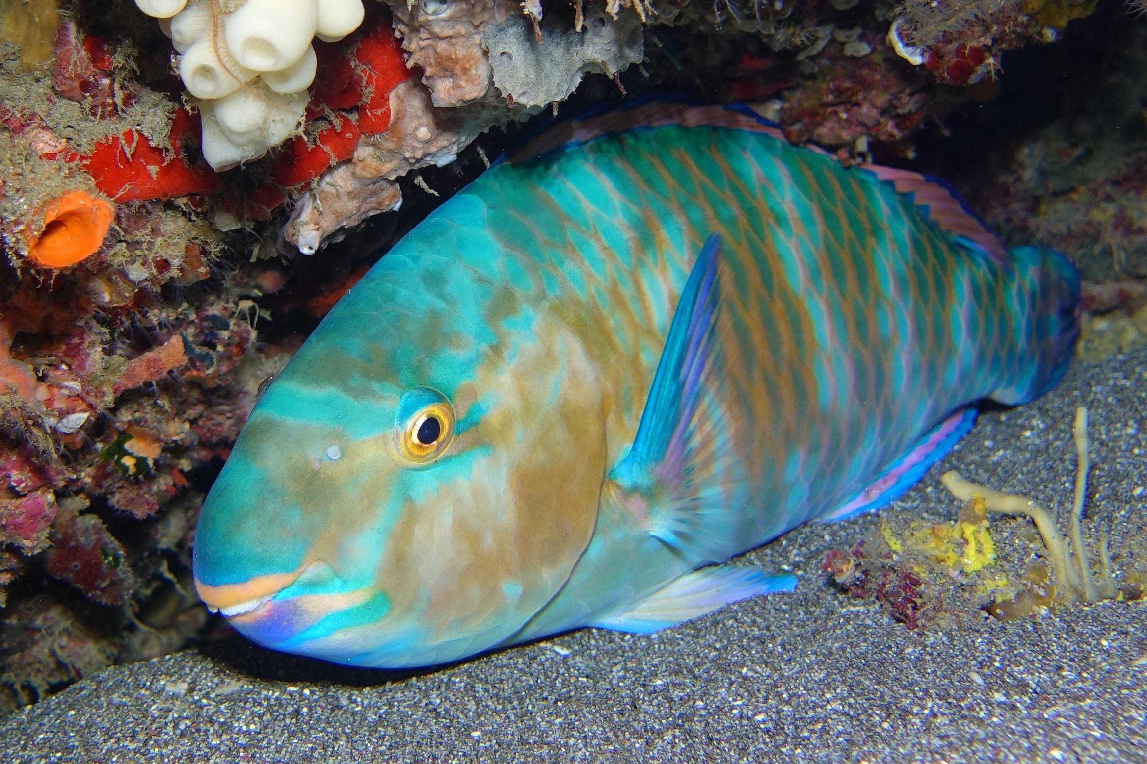 parrotfish 1644.jpg