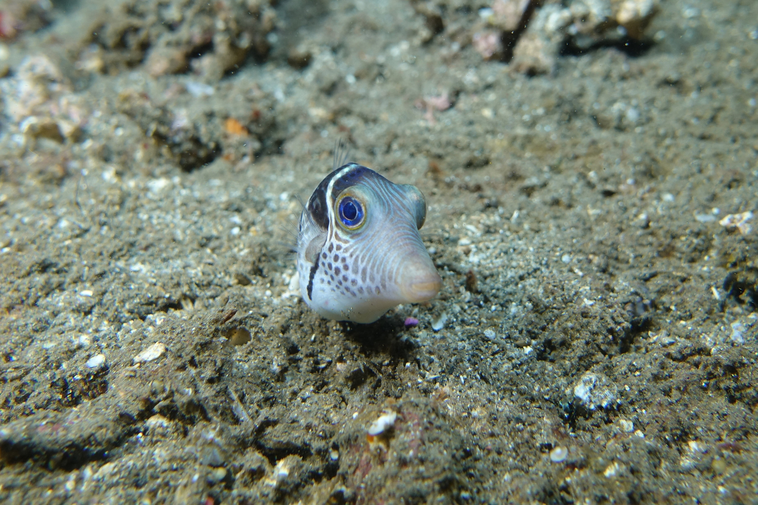 pufferfish 682.jpg