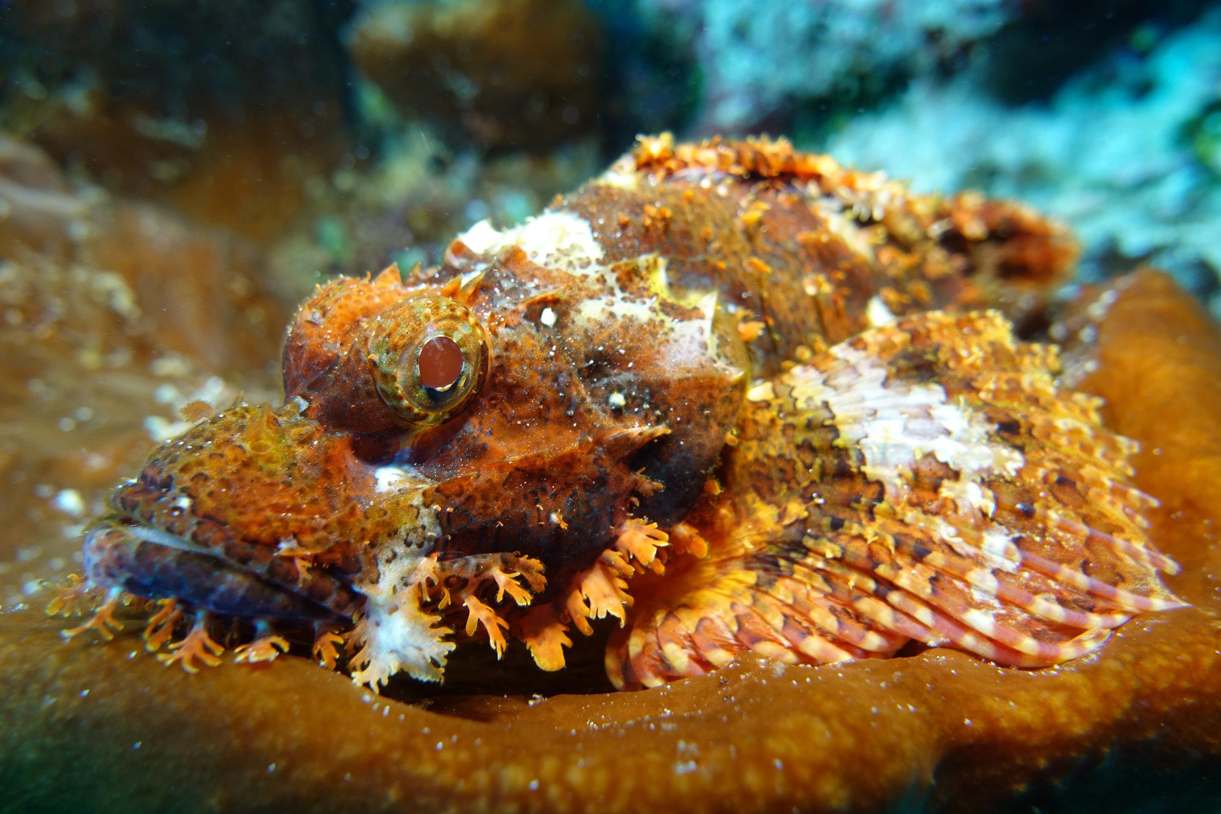 scorpionfish 1129.jpg