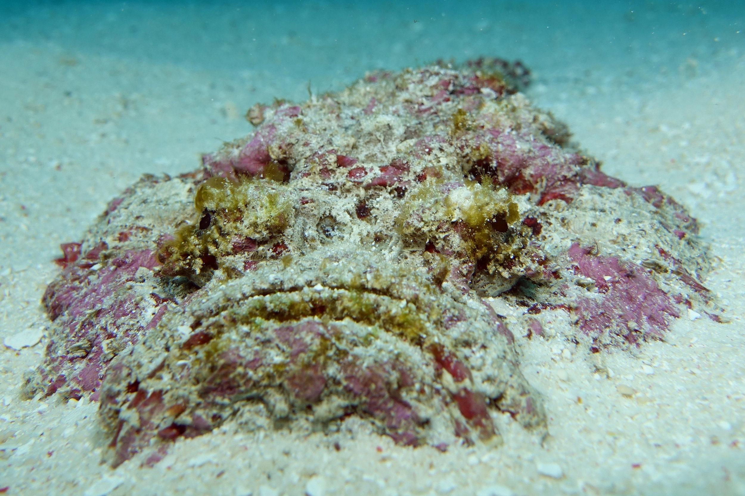 stonefish face 2182.jpg