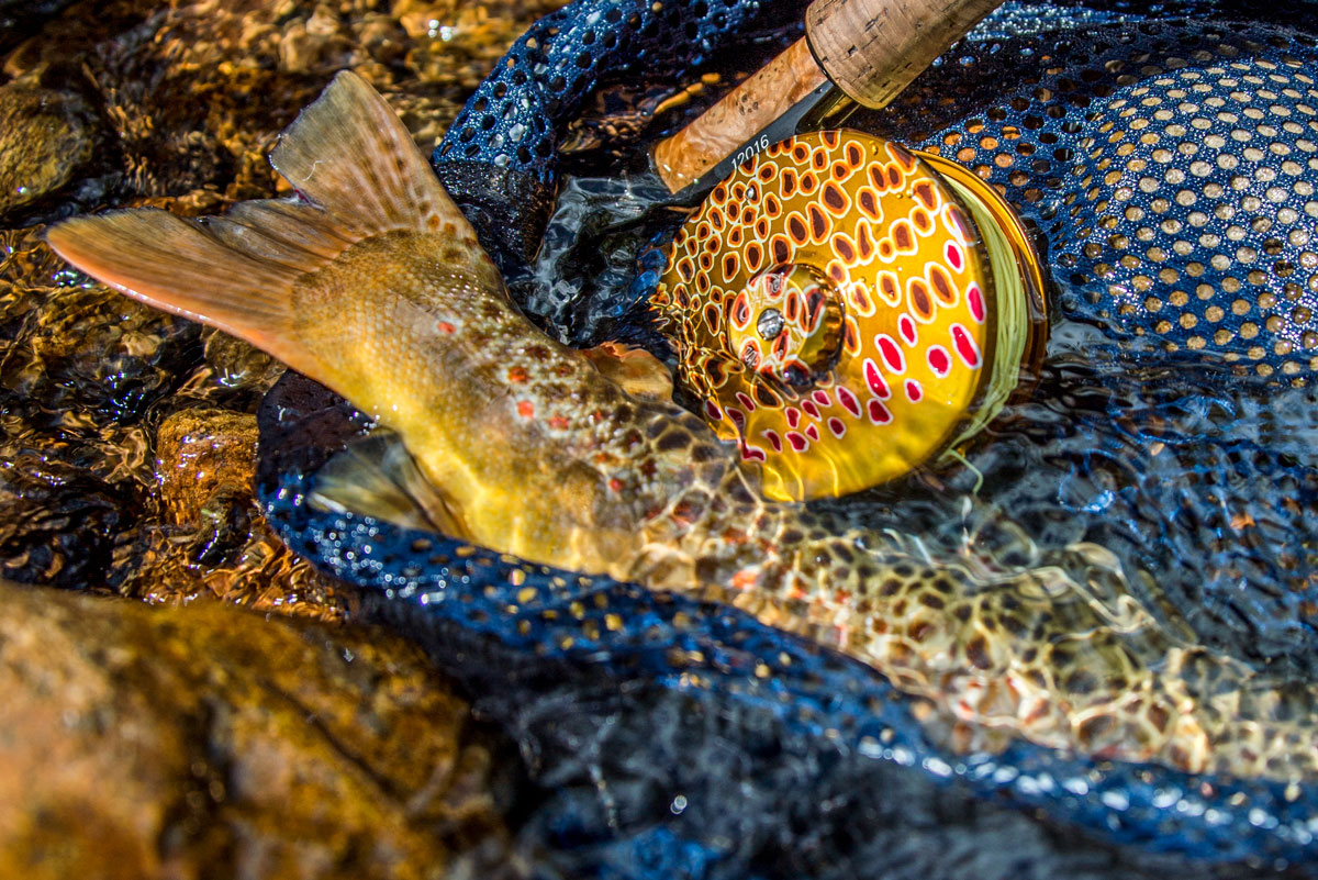 Arkansas River Headwaters holds healthy populations of wild Brown trout