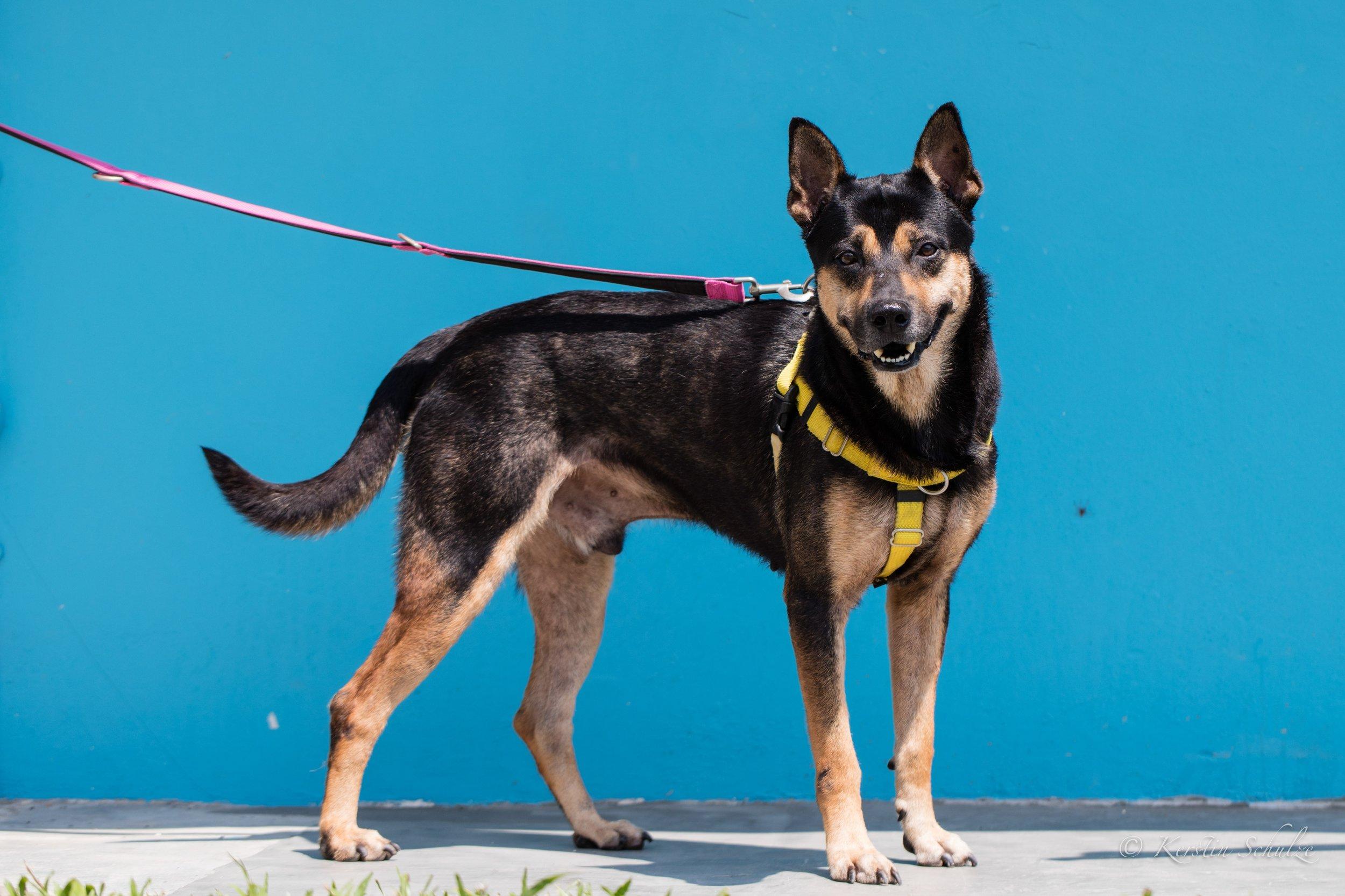 Nerf 1 - OSCAS shelter dog.jpg