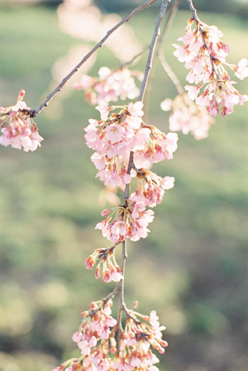 cherry-blossom-engagement-photos-fine-art-6.jpg