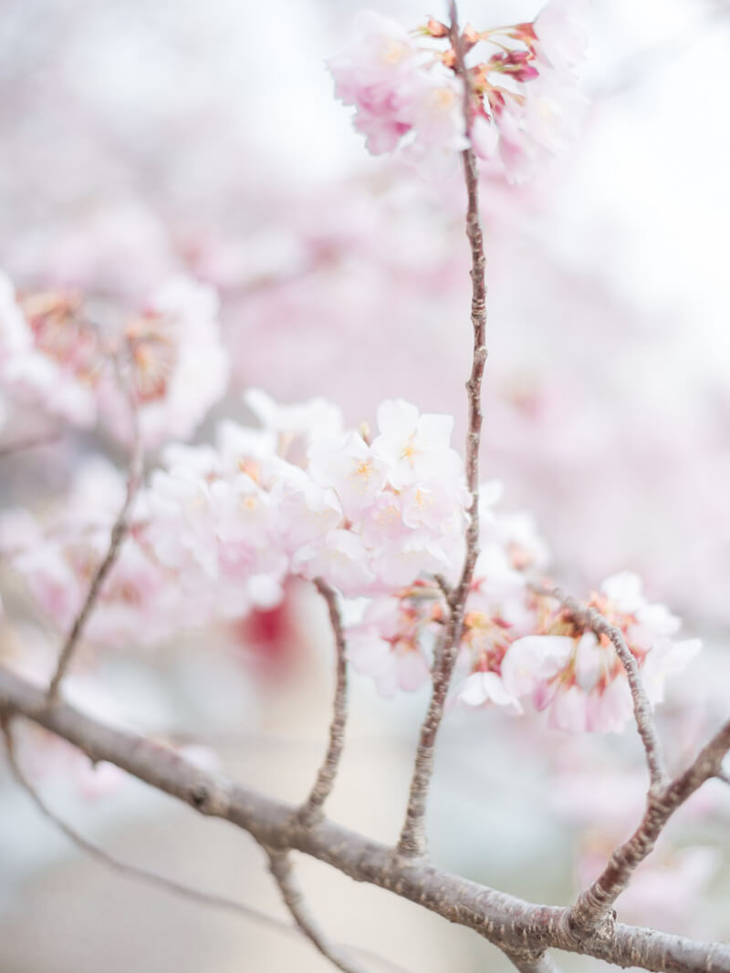 cherry-blossom-pre-wedding-shoot-8.jpg