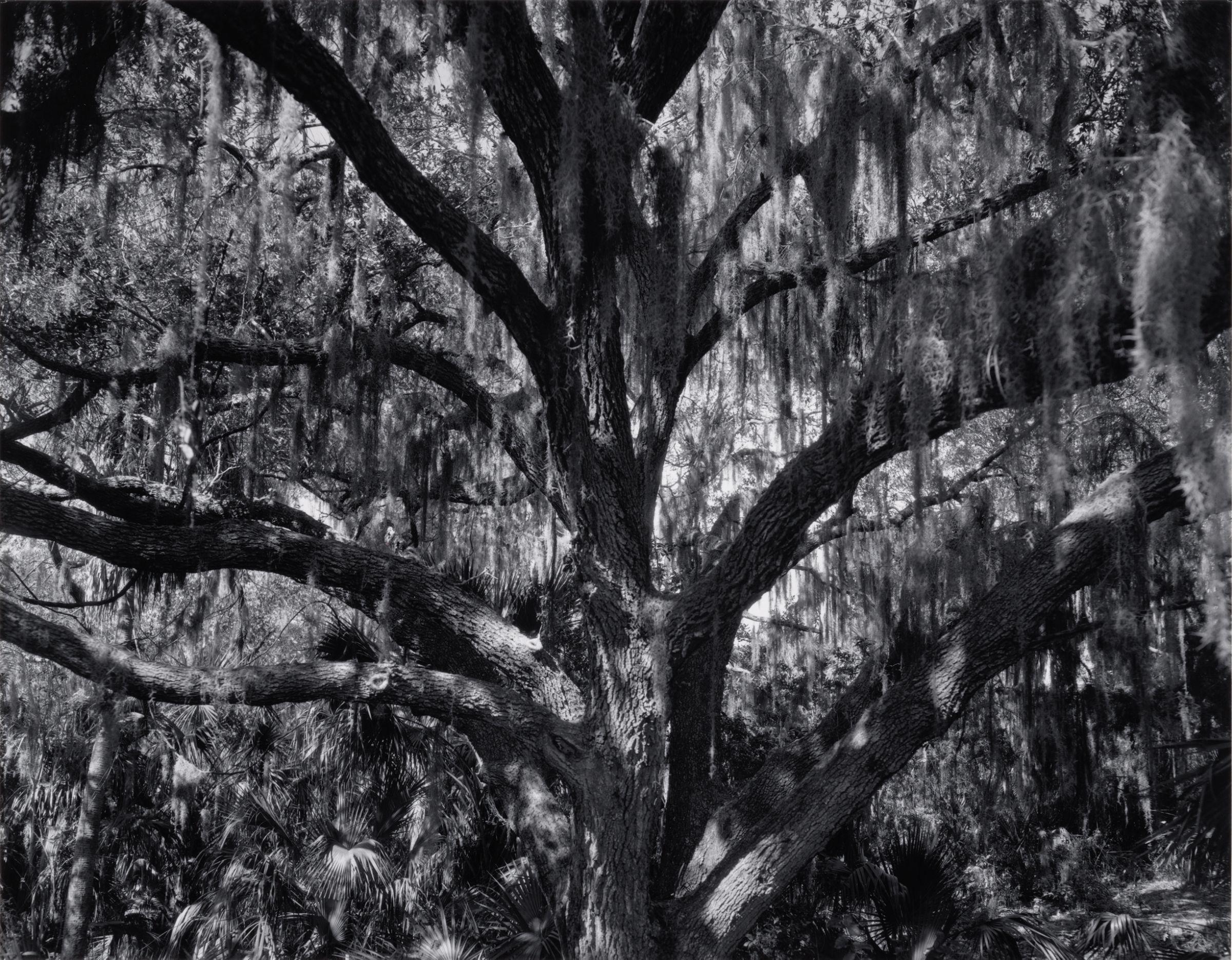 Edward Steichen Florida Jungle, 1936 Black and white print mounted on museum board