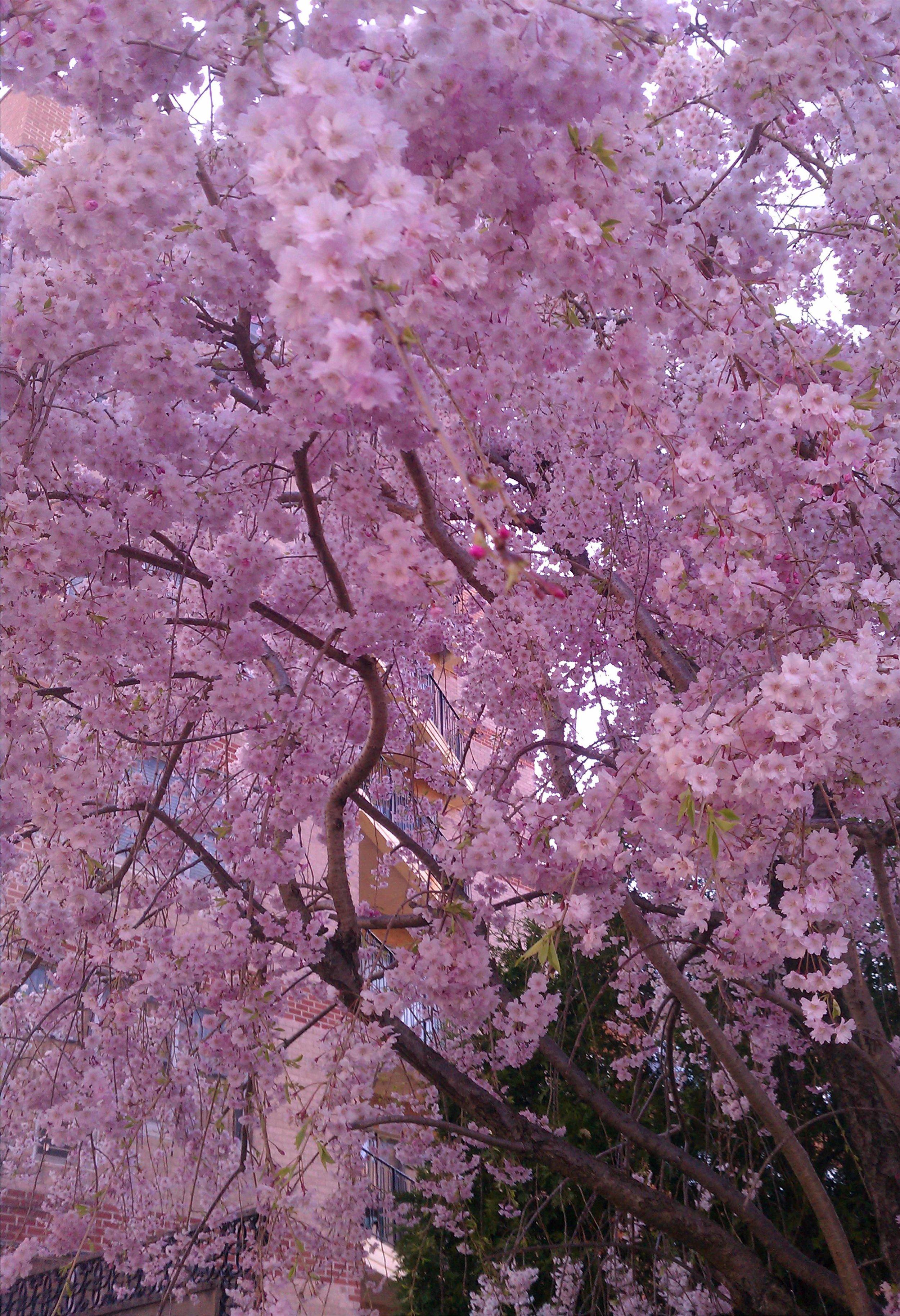 close up cherry tree.jpg
