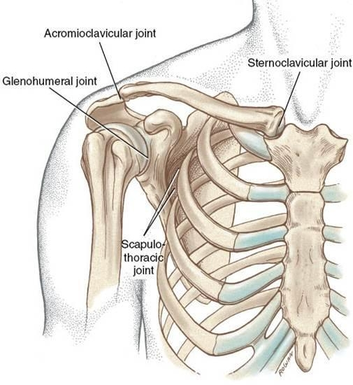 Image from Neumann: Kinesiology of the Musculoskeletal System. 2nd edition. 2010