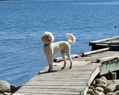 Leeward's Ninja , the great white hope. What a beautiful dog.