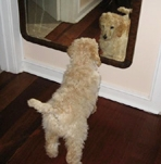 Poodles can be very vain