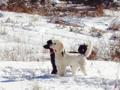 Leeward dogs — Leeward Standard Poodles