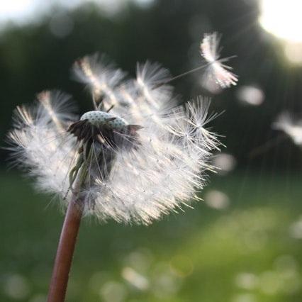 blowball-dandelion-dandelion-seed-54300+%281%29.jpg