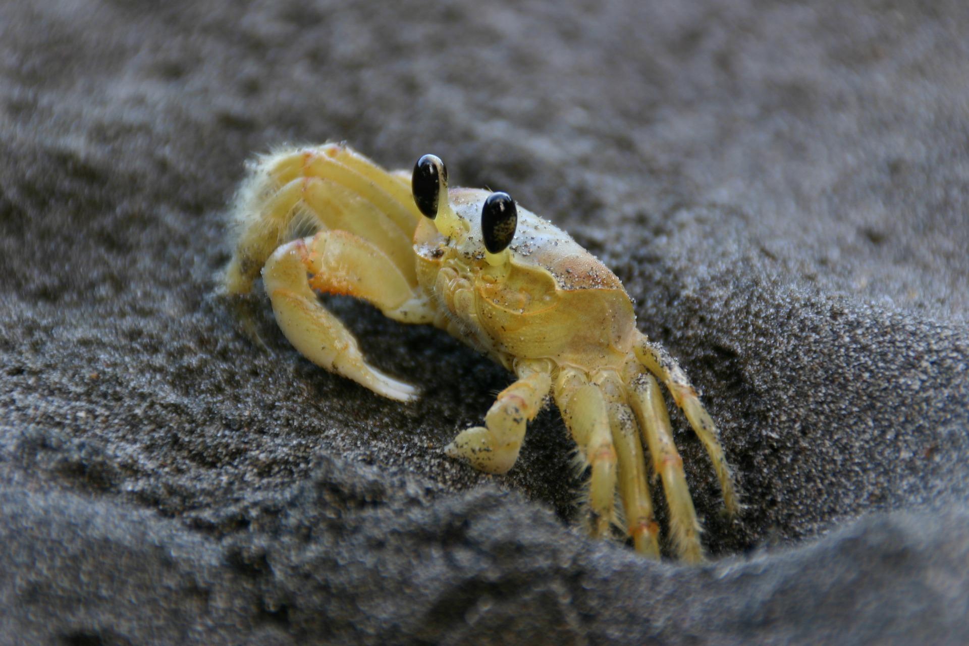 Surprise Vacation Martinique Crab