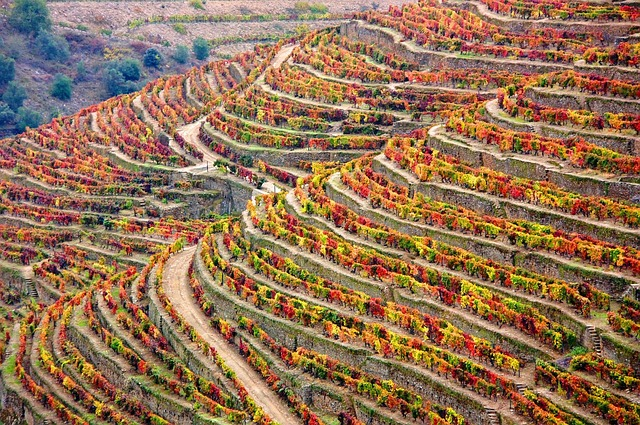 Douro Vineyard Fall Colors