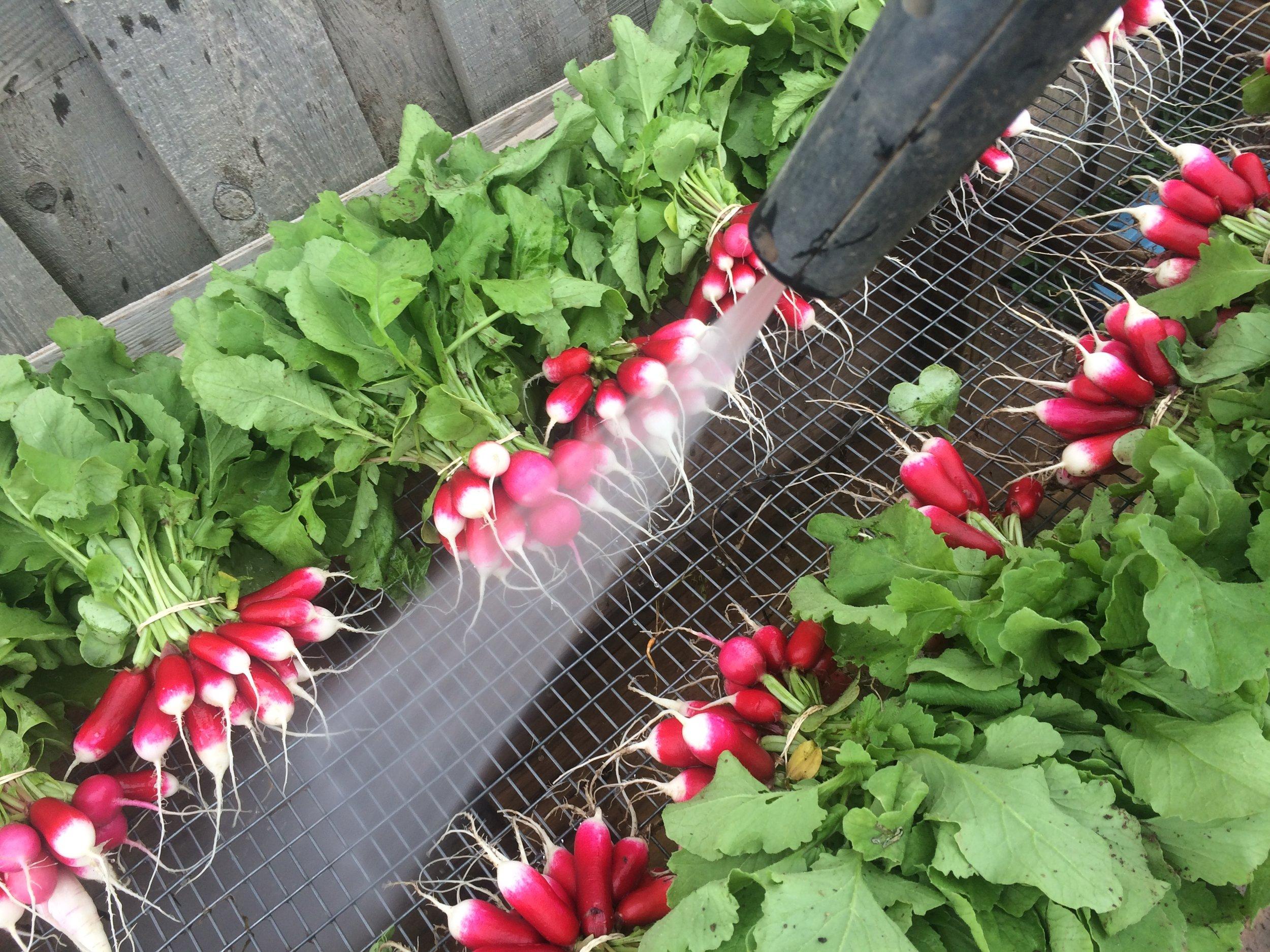 Quand les radis d'automne arrivent, ça fait comme un petit goût de printemps en fin de saison. Et on aime vraiment ça.
