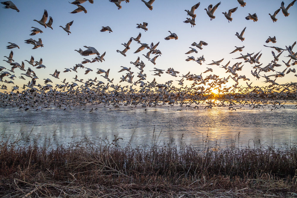 Snow geese in flight at Bosque del Apache National Wildlife Refuge