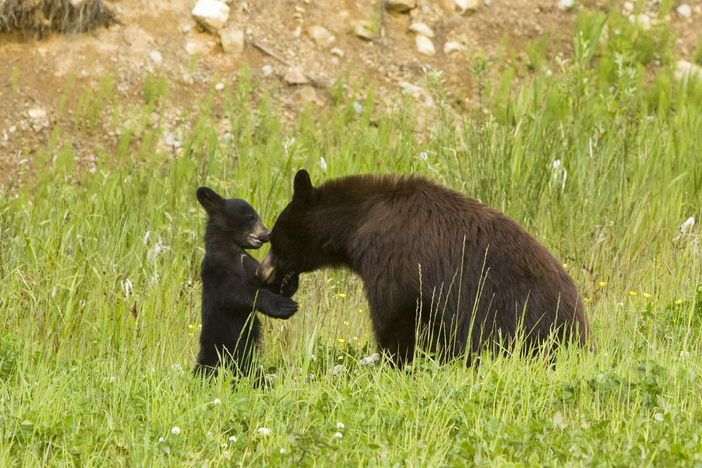 PHOTO: Black Bear with Cub