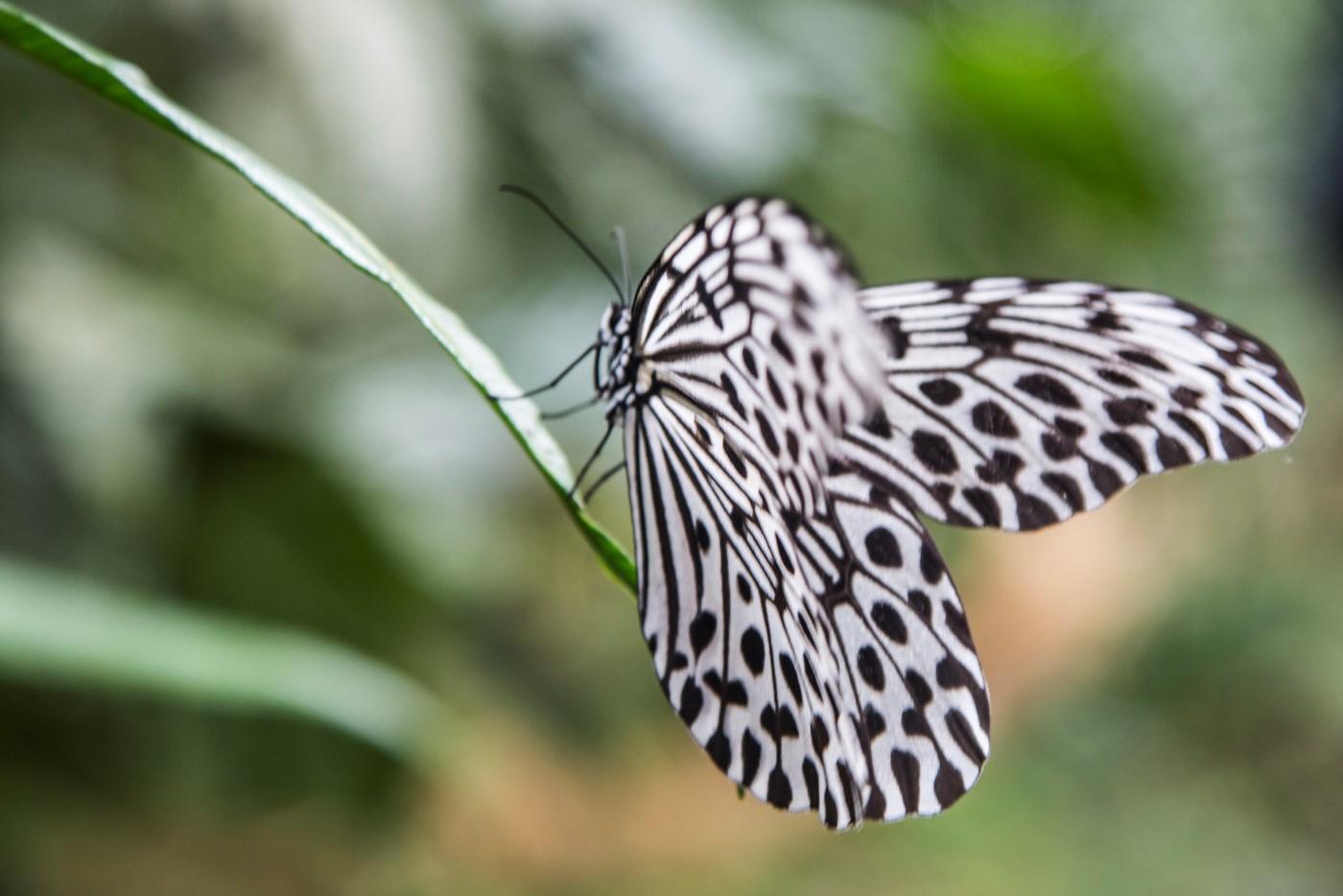 Alassari Butterfly (Custom).jpg