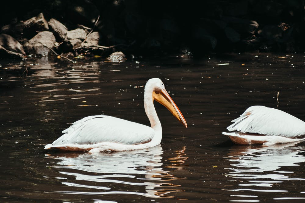 pelican on lake.jpeg